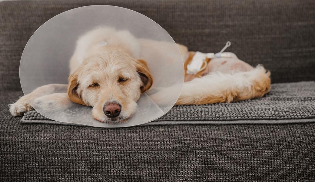 Hund mit Magensonde und Leckschutz Hund mit drei Beinen